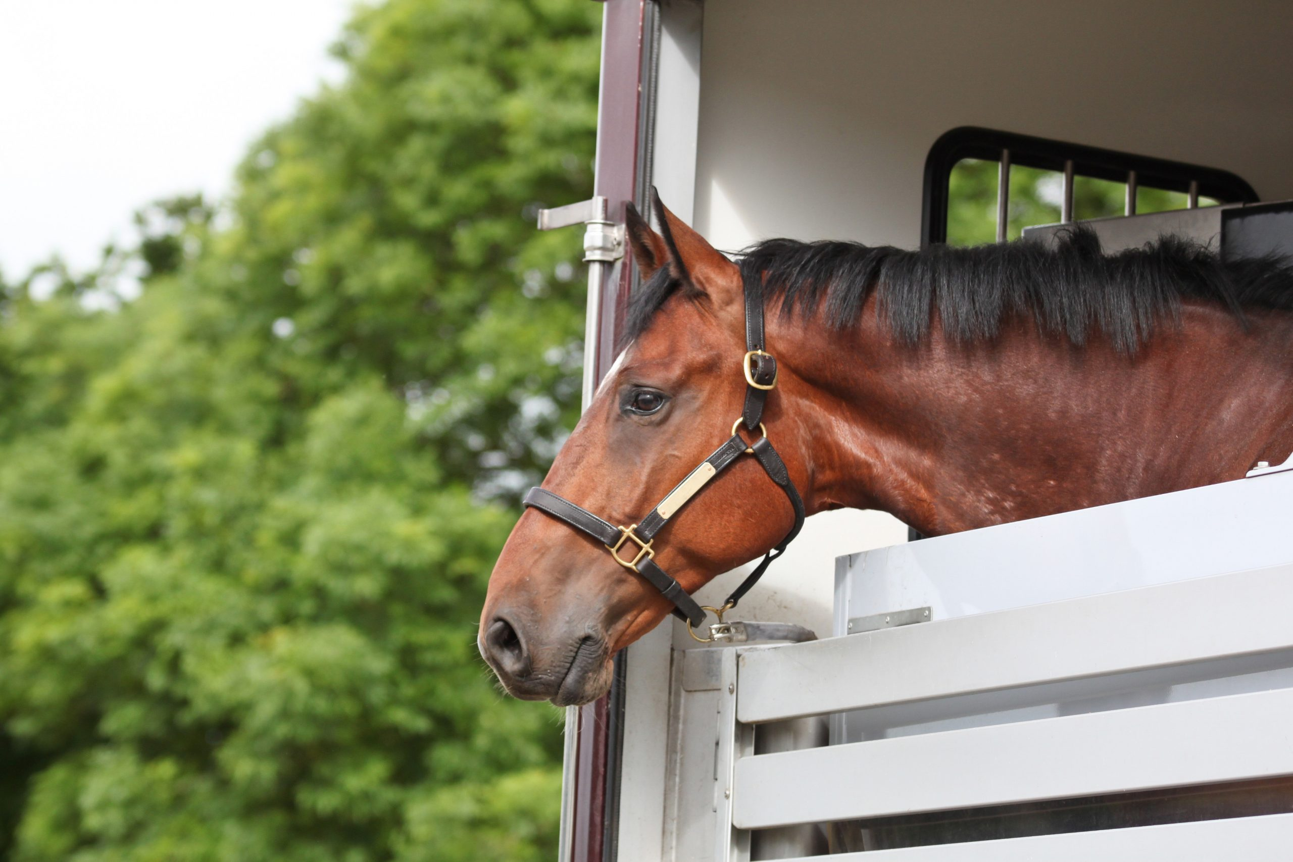 Horse transported in a horse trailer