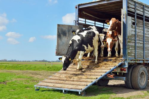Cattle transported to meadow for grazing.